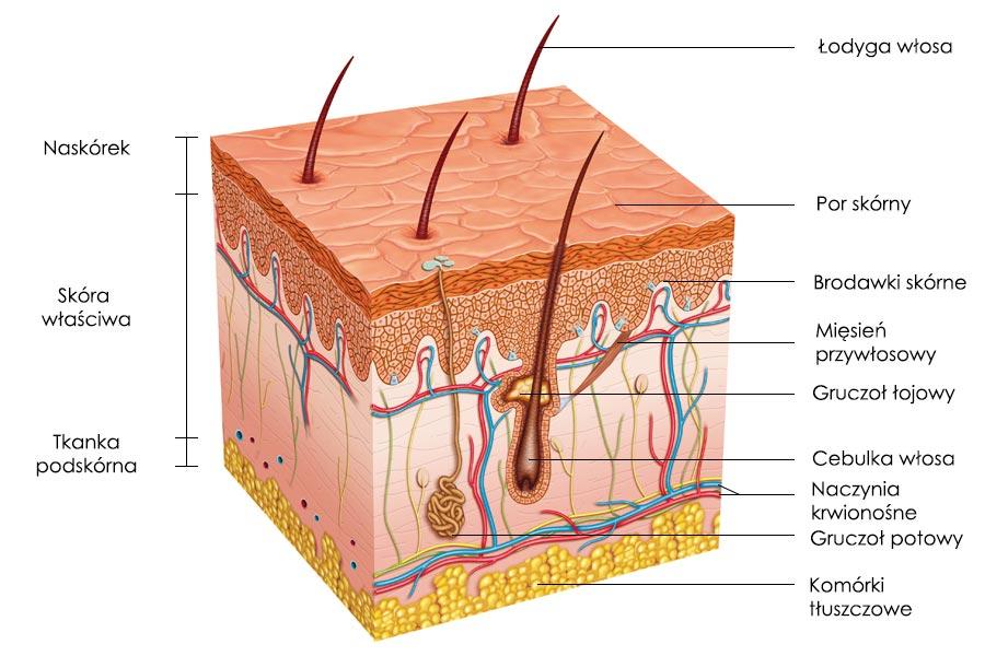 Skóra budowa i histologia