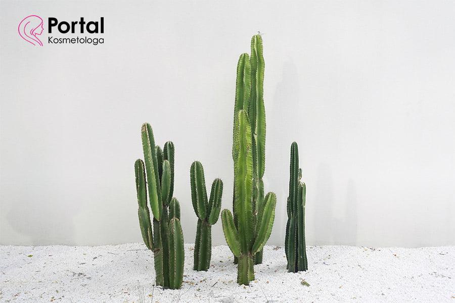 Kaktus w kosmetyce