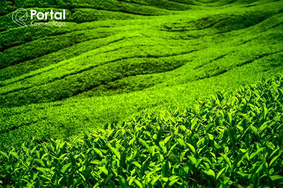 Liście krzewu herbacianego w kosmetologii